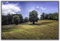 Trees in field (jsleighton) Tags: field farm rows plowed trees sky hills landscape