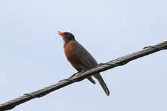 Singing American Robin (Heather Burditt) Tags: americanrobin songbirds robin vermont vermontbirds orangebirds greybirds singingbird birdonawire monkton