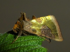 Burnished Brass Moth..x (lisa@lethen) Tags: burnished brass moth nature wildlife scotland insect metalic