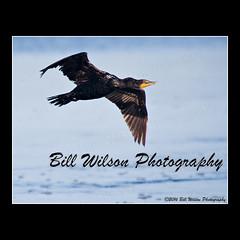 cormorant (wildlifephotonj) Tags: cormorant cormorants wildlifephotography wildlife nature naturephotography wildlifephotos naturephotos natureprints birds bird florida dingdarlingnwr dingdarlingwildlferefuge sanibelislandfl sanibelislandflorida