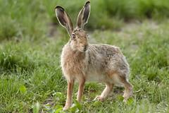 Feldhase - European Hare - Lepus europaeus (Andreas Gruber) Tags: feldhase hase europeanhare hare lepuseuropaeus tier animal suger sugetier mammal natur nature wildlife andreasgruber