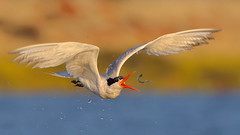 Playing with food Tern style! (bmse) Tags: elegant tern bolsa chica fish fishing toss play food bmse salah baazizi wingsinmotion canon 7d2 400mm f56 l