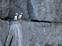Horned Puffin pair (alicecahill) Tags: alaska usa wild wildlife ©alicecahill puffin pair bird ak two hornedpuffin seward animal droh dailyrayofhope