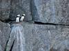Horned Puffin pair (alicecahill) Tags: alaska usa wild wildlife ©alicecahill puffin pair bird ak two hornedpuffin seward animal droh dailyrayofhope