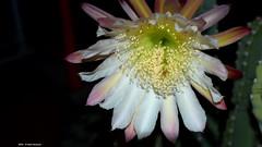 Cereus Peruvianus 2016 (Paolo Bonassin) Tags: flowers cactaceae cactacee cactus succulente cereus cereusperuvianus