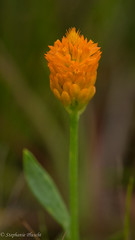 August Wildflowers - Orange Milkwort (stephaniepluscht) Tags: alabama 2016 wildflowers wild flowers blooms bloom flower graham creek nature preserve august orange milkwort polygala lutea