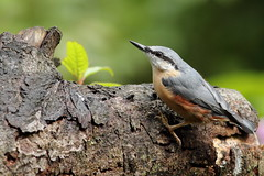 The nuthatches are now in charge (david.england18) Tags: nuthatch smallbirds various tits blue coal great queensparkheywood canon7d canonef300mmf4lisusm birdsuk