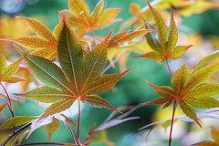 Changing colors (JPShen) Tags: maple leaf leaves