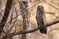 0425 Mangokauz - Mottled Wood-Owl (uwizisk) Tags: india indien mangokauz strixocellata mottledwoodowl ranthambhorenationalpark