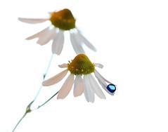 Blue drop on Chamomile (Lorraine1234) Tags: drops macro flower chamomile blue
