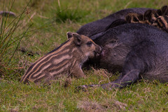 Hungry wild boar youngster (Hundra Kontrast) Tags: nature reserve wild boar youngsters animal eriksberg blekinge sweden