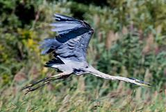 Blue Heron (jagbuilt313) Tags: blue heron bird birdphotography lake erie canon 5dsr 70200mm