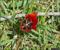 Tulip IZE_13602 (Zachi Evenor) Tags: zachievenor  israel rishonlezion irishill nature naturereserve naturalreserve rishonlezionirishill nessziona flower flowers bioblitz conservation february27 2016           27      tulip tulipa tulipashronensis tulipaagenensissharonensis sharonensis
