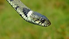 Grass Snake (Natrix natrix helvetica) (Nick Dobbs) Tags: reptile snake dorset heath heathland natrix helvetica grass