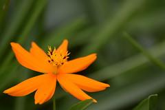 DSC_0410 (Kelson Souza) Tags: flor flores primavera flower flowers natureza beleza jardim jardinagem garden gardens colorido floricultura petalas ptalas florescer
