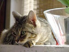 Dolsa reflexiona  045 (adioslunitaadios) Tags: gato gatocomn mascota interior fujifilm macros animales felinos
