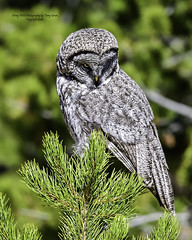Great Grey Owl Watching And Listening (Hawg Wild Photography) Tags: great grey owl predator bird birds wildlife nature animal animals yellowstonenationalpark terrygreen nikon nikon600mmvr nikond4s hawg wild photography