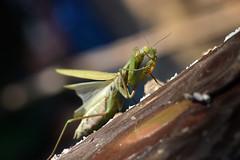 Mantis (Anddune) Tags: mantis macro insecto bugs bichos macrofotografia