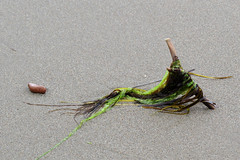 Seaweed caught up with a branch on the shores of Coin-du-Banc (Perc), Qubec (Ullysses) Tags: seaweed coindubanc perc qubec canada gaspesie shore plage summer t algue