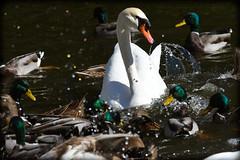 DSC_0027 (DianeBerky19) Tags: nikond500 birds 300mmnikkor mallardducks muteswan feedingfrenzy