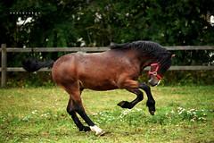 Welsh Colt 'Parc Alfe' (vesterskov) Tags: daniel vesterskov foto fotografi photo photography portrt portrait sony slt dslr a99 a99v slta99 slta99v bokeh dof fullframe full frame parcalfe welsh mountain pony ponie sec d cob colt stallion tamron 70200 70 200 mm 70200mm a001 f 28 f28 sp af di ld if ex dg hsm horse horses barn horsemanship stable hest heste stald western riding ride slide stop trot walk training trning spring jump jumping