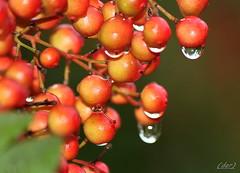 ___ lacrime naturali ___ (erman_53fotoclik) Tags: canon eos 500d erman53fotoclik lacrime gocce acqua pioggia naturali bacche rosse pianta nandina flora natura grappolo albero particolari macro acceso allaperto