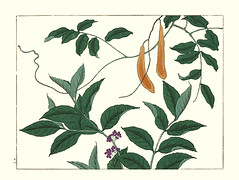 Japanese wisteria and beauty-berry (Japanese Flower and Bird Art) Tags: flower wisteria floribunda fabaceae beautyberry callicarpa verbenaceae hoitsu sakai kiitsu suzuki kimei nakano nihonga woodblock picture book japan japanese art readercollection