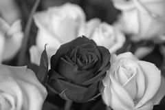 BW Red and White Roses-0982 (Orkakorak) Tags: roses whit red bw