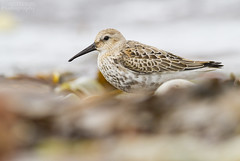 Dunlin (Josie Hewitt Photography) Tags: bird nature shorebird wader saturday wildlife bardsey island wales dunlin migration ynys enlli gwynedd