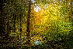 Autumn Impressions (HikerandBiker) Tags: autumn background blur forest herbst hintergrund licht light sigma2470mmf28exdghsm sony sonya99 sonyalpha99 swamps unscharf wald unschrfe smpfe