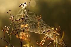 web (luporosso) Tags: natura nature naturaleza naturalmente nikond300s nikon sunday ragnatela web controluce contraluz backlight autunno autumn
