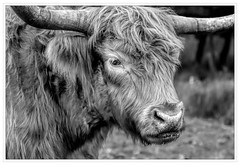 Highland Cow - Hothfield Common (alone68) Tags: hothfield canon nature kwt blackandwhite