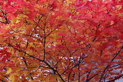 Red leaves (eijun.ohta) Tags: maple red leaf autumn color       autumnaltints redleaves autumncolor