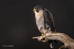 Peregrine Falcon D50_4432.jpg (Mobile Lynn) Tags: birdsofprey captive birds peregrinefalcon nature bird birdofprey fauna raptor wildlife ringwood england unitedkingdom gb