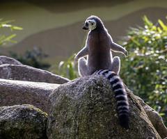 Back view (++sepp++) Tags: augsburg bayern deutschland de katta zoo zootiere bavaria germany tierpark tieraufnahme tierfotografie gegenlicht backlight backlit lemurcatta lemuriformes