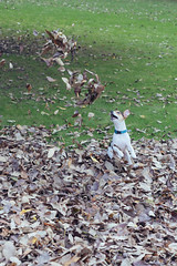 (Steve Gallazzi) Tags: nikon d610 sigma sigmaart 50mm street streetphotography edinburgh scotland people city autumn parklife dog jackrussel