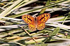 ___ su un letto di foglie ___ (erman_53fotoclik) Tags: letto foglie intrecci insetto farfalla ali canon eos 500d erman53fotoclik cattura posata