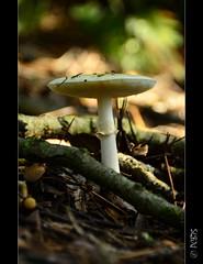 Fent una mica de bosc (PCB75) Tags: mushroom mira foret seta champignon pilz setas bosc magia  bolets bolet schwammerl  onddo mgic  goita