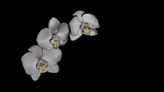 Trois Blanc sur Noir (Oliver Leveritt) Tags: flowers orchid orchids flash cymbidium onblack whiteorchid sb800 afsnikkor2470mmf28ged whitecymbidium oliverleverittphotography nikond7100
