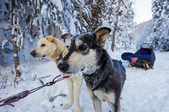 Jasper Winter 2014-65 (brendanvanson) Tags: winter snow canada ice dogs season jasper britishcolumbia alberta activity nationalparks dogsledding jaspernationalpark dogsled valmount fraserfortgeorgeh