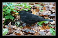 "Merle noir ""2014"" (Explorer 21/12/2014) (Christian Labeaune) Tags: france noir merle oiseaux plumes 2014 faune bourgognectedor chatillonsurseine21400 christianlabeaune"