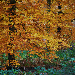 Golden Fall [Explored] (Vainsang) Tags: autumn tree fall leaves forest automne leaf arbre feuilles sonian foretdesoignes