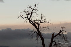 Bald Eagles at sunrise