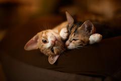 Nap (rampx) Tags: cat kittens neko   irori miaw hiyori