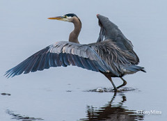 Great blue heron (tonymitra) Tags: greatblueheron ardeaherodias