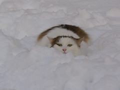 A cat in the snow (bertrandwaridel) Tags: winter cats snow cat switzerland suisse february vaud longhaired woodie 2015 echallens longhairedcat