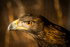 biology birdwatching eagles raptors birdsofprey goldeneagle captivewildlife aquilachrysaetos