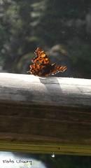 Schmetterling (UlvargHS) Tags: holz schmetterling