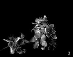 DSC_1127 fleurs de prunus (Le To) Tags: flowers bw nature fleurs nikon noiretblanc fiori cerisier nikond5000