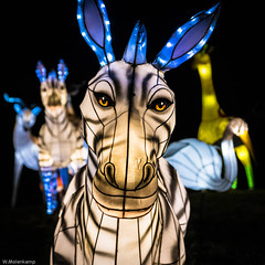 China light festival (Wil Molenkamp) Tags: light nikon arnhem zebra burgerszoo molenkamp chinalightfestival